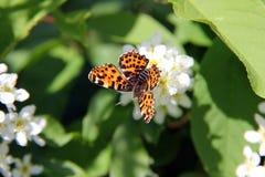 De Vlinder van de kaart, levana Araschnia op Prunus Padus Stock Foto's