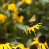De Vlinder van de kapitein op Blackeyed Susan Stock Foto