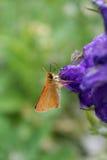 De Vlinder van de kapitein op Ridderspoor Stock Foto's