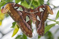 De vlinder van de keizeratlas Stock Foto's