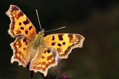 De vlinder van de komma Stock Foto
