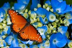 De vlinder van de koningin op hydrangea hortensiabloemen royalty-vrije stock fotografie