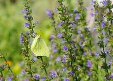 De vlinder van de luzerne Stock Fotografie