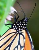 De Vlinder van de monarch Stock Foto's