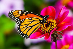De Vlinder van de monarch Stock Afbeelding