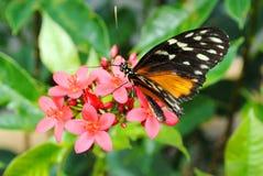 De Vlinder van de monarch royalty-vrije stock afbeeldingen