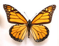 De vlinder van de monarch royalty-vrije stock afbeelding