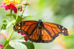 De vlinder van de monarch Royalty-vrije Stock Fotografie