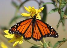 De Vlinder van de monarch Royalty-vrije Stock Foto's