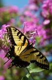 De Vlinder van de monarch Stock Afbeeldingen