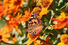De vlinder van de monarch dichtbij bloemen Stock Afbeelding