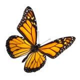 De Vlinder van de monarch die op Wit wordt geïsoleerdz stock foto's