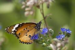 De vlinder van de monarch op blauwe bloem Stock Afbeeldingen