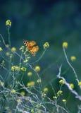 De Vlinder van de monarch op Bloem Stock Fotografie