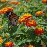 De vlinder van de monarch op bloem royalty-vrije stock foto