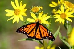De Vlinder van de monarch op BosZonnebloemen Stock Afbeeldingen
