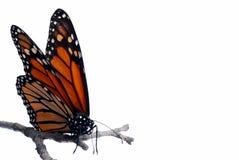De vlinder van de monarch op een geïsoleerdeo tak Royalty-vrije Stock Fotografie