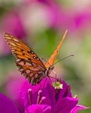 De vlinder van de monarch op een kleurrijke purpere bloem Stock Afbeelding