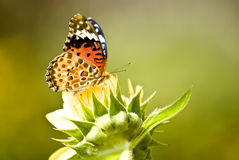 De Vlinder van de monarch op gele bloem Royalty-vrije Stock Fotografie