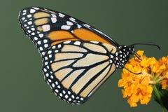 De vlinder van de monarch op gele bloem Stock Afbeelding