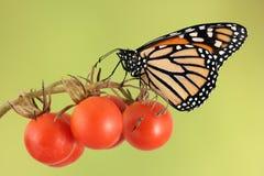De vlinder van de monarch op kersentomaat Royalty-vrije Stock Foto's