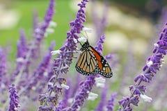 De vlinder van de monarch op lavendel Stock Foto's