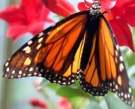 De vlinder van de monarch op rode bloem Stock Foto