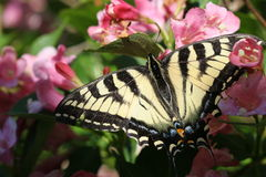 De Vlinder van de monarch op Roze Bloemen royalty-vrije stock afbeelding