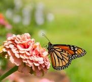 De vlinder van de monarch op roze Zinnia Stock Afbeeldingen
