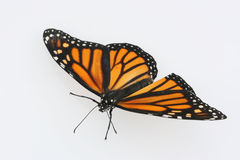 De vlinder van de monarch op witte achtergrond Royalty-vrije Stock Afbeeldingen