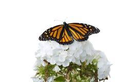 De vlinder van de monarch op witte bloemen. royalty-vrije stock fotografie