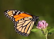 De vlinder van de monarch (plexippus Danaus) Royalty-vrije Stock Afbeeldingen