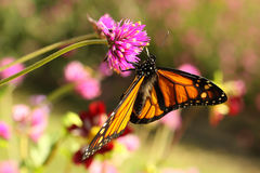 De Vlinder van de monarch (plexippus Danaus) Royalty-vrije Stock Afbeelding