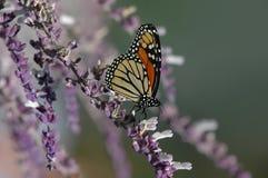 De vlinder van de monarch, plexippus Danaus Royalty-vrije Stock Foto
