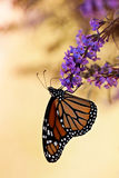 De vlinder van de monarch (plexippus Danaus) Royalty-vrije Stock Foto's
