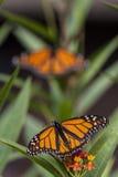 De Vlinder van de monarch (plexippus Danaus) stock foto's