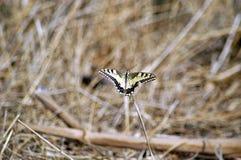 De vlinder van de monarch tijdens de vlucht Stock Fotografie