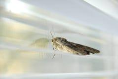 De vlinder van de nacht Stock Foto