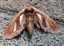 De vlinder van de nacht stock foto's