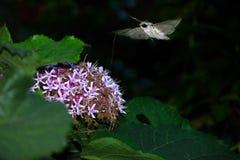 De vlinder van de nacht Royalty-vrije Stock Foto's