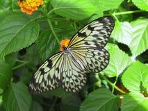 De Vlinder van de Nimf van de boom royalty-vrije stock foto
