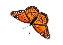 De vlinder van de onderkoning (archippus Limenitis) Stock Foto's