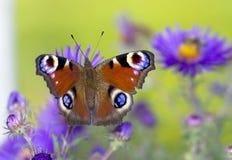 De vlinder van de pauw Stock Afbeelding
