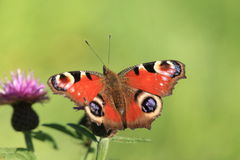 De vlinder van de pauw. Stock Foto's