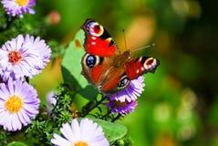 De Vlinder van de pauw Royalty-vrije Stock Foto