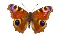 De vlinder van de pauw Stock Foto
