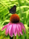 De vlinder van de pauw Royalty-vrije Stock Fotografie