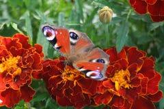 De Vlinder van de pauw Royalty-vrije Stock Afbeelding