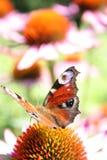 De vlinder van de pauw Stock Afbeeldingen