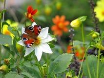 De vlinder van de pauw op dahlia Stock Foto